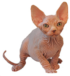 Nudels Texas Sphynx Cats & Sphynx Kittens - Hairless cats