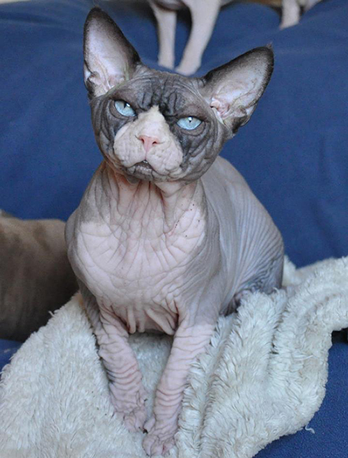 Nudels Sphynx Cats / Kittens in Texas